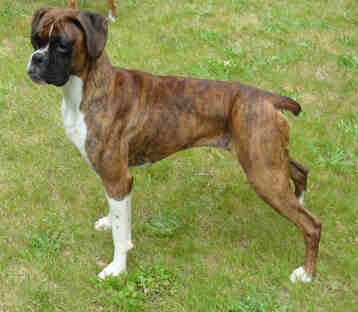 Boxer Puppies Adults For Sale Or Adoption Information On Boxer